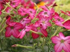 Ziertabak Pflanzen Nodrbalkon