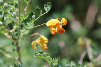 blühende Heckenpflanzen Blasenstrauch