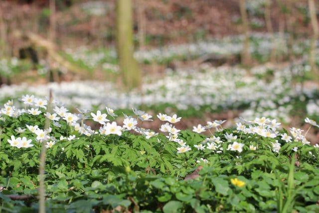Buschwindröschen blühende Bodendecker