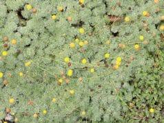 Fliederpolster begehbare Bodendecker
