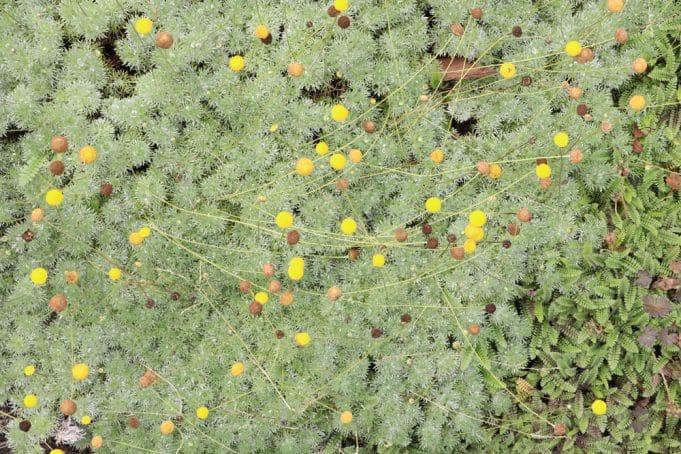 Geliebte 13 begehbare Bodendecker: immergrün und trittfest als Rasenersatz #NP_17