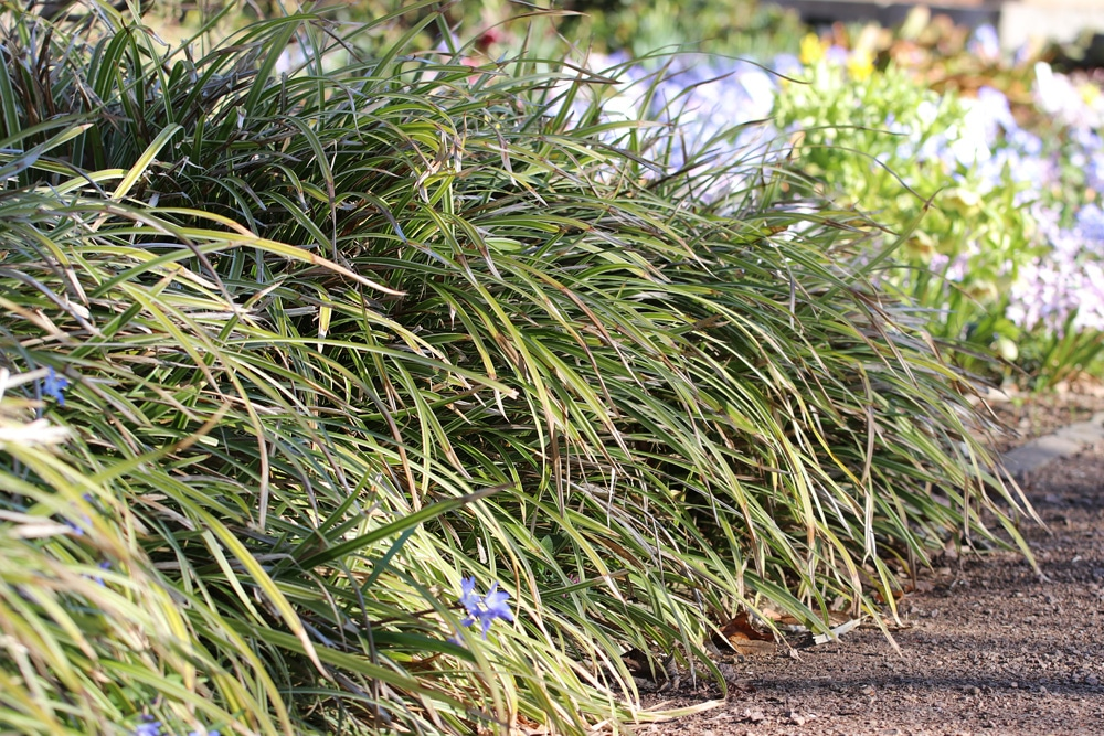 Japanische Segge winterharte Gräser