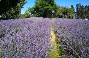 Lavendel giftig