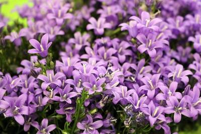 Polster-Glockenblume blühende Bodendecker