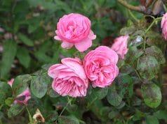 Rosen Wuchsform