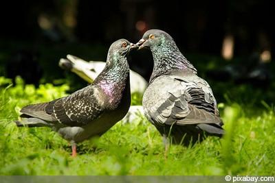 Tauben brüten