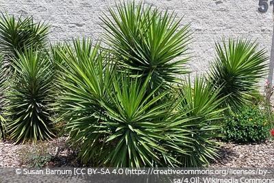 Y. recurvifolia