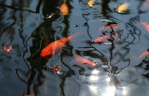 Goldfische laichen