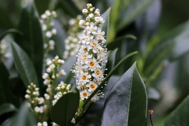 Kirschlorbeer Blüten abschneiden