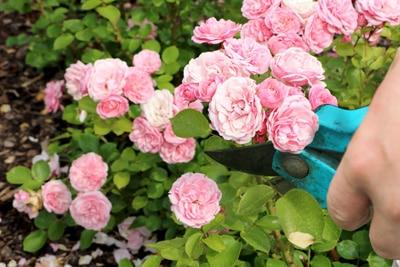 Rosa schneiden