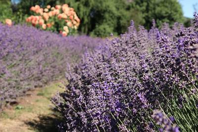 Lavendel Strauch