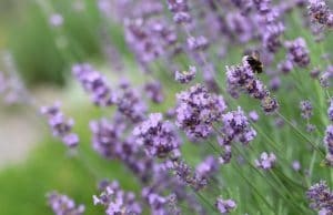 Lavendel winterhart