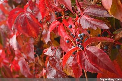 Mauerwein schnellwachsende Kletterpflanze