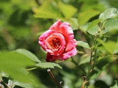 Rosen schneiden Herbst
