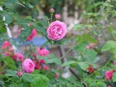 Rosenschnitt Herbst