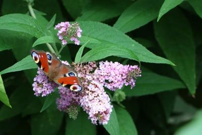 Insektenarten Schmetterling
