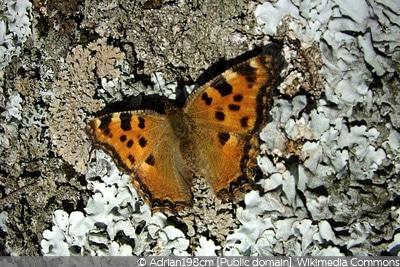 Schmetterling Großer Fuchs