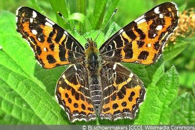 Schmetterlingsarten Landkärtchen