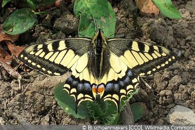 Schmetterlingsarten Schwalbenschwanz