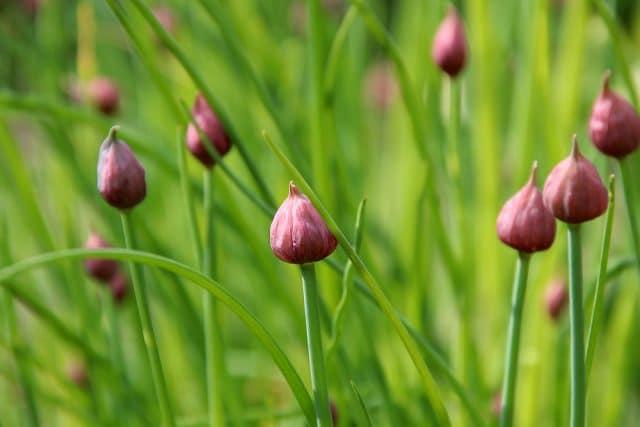 Schnittlauch-Samen ernten