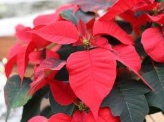 Weihnachtsstern giftig