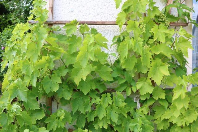 schnellwachsende Kletterpflanzen Wein