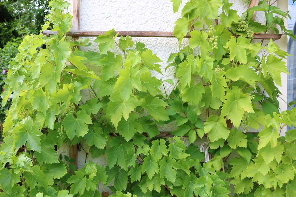 Wein Pflanzen Zeitpunkt
