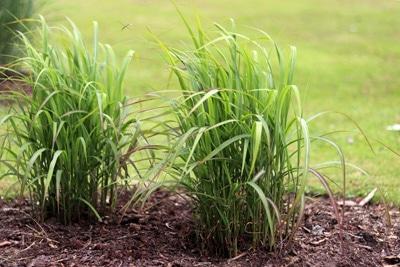 Zwerg-Chinaschilf Gräser
