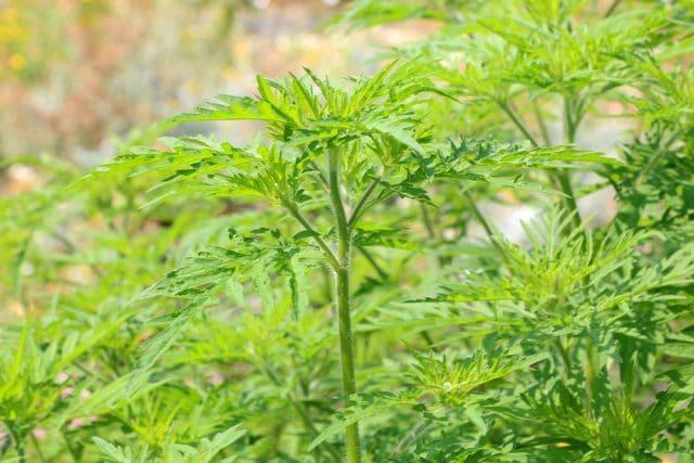Ambrosia-Pflanze