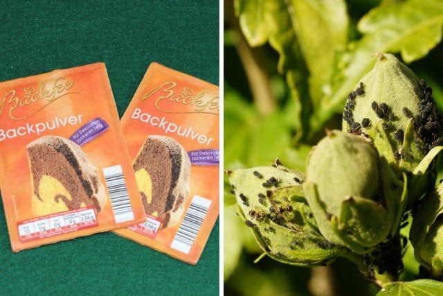 Backpulver gegen Blattläuse