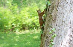 Eichhörnchen Feinde