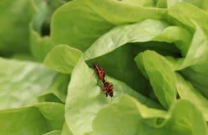Feuerwanzen rote Käfer