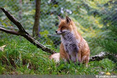 Fuchs Feinde Eichhörnchen