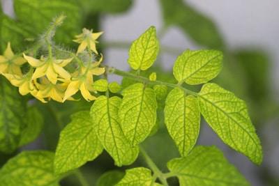 gelbe Blätter Nährstoffe Pflanze