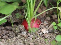 Radieschen blühen