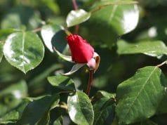 Rosen düngen Zeit