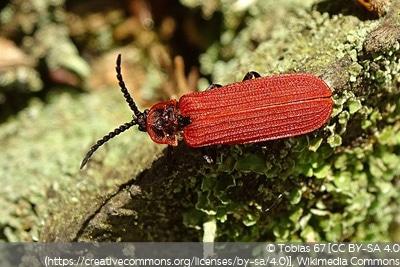 Rotdeckenkäfer (Lycidae)