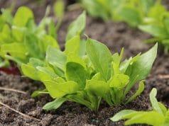 Spinat ernten