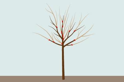 Pflaumenbaum schneiden Erziehungsschnitt