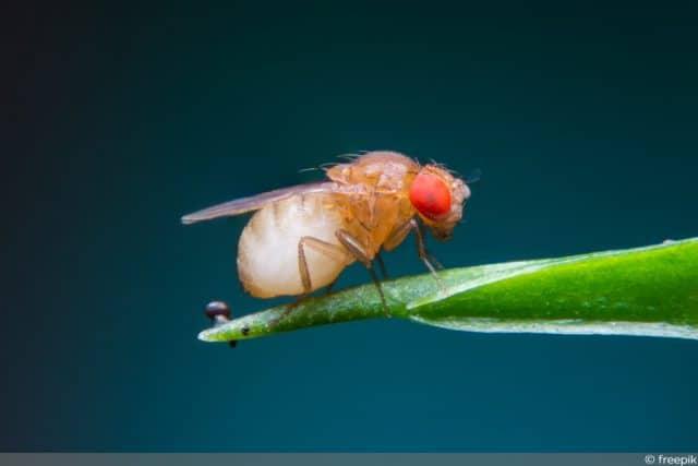 Fruchtfliege Minifliege Essigfliegen