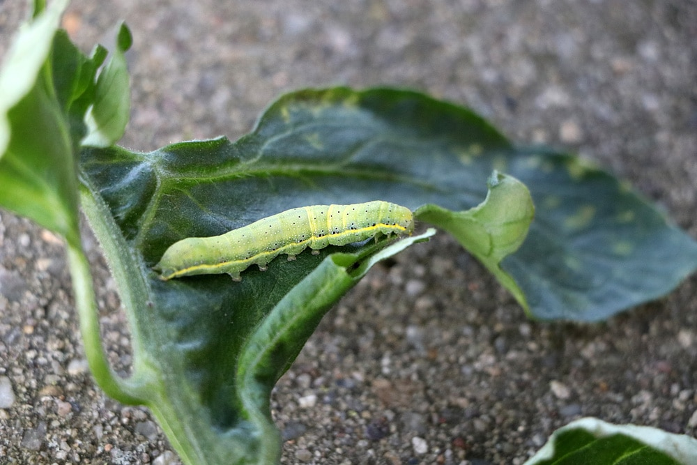 Grune Raupen Bestimmen 10 Heimische Raupen Mit Bild Gartendialog De