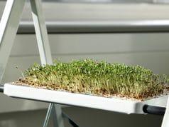 Kresse-Pflanzen