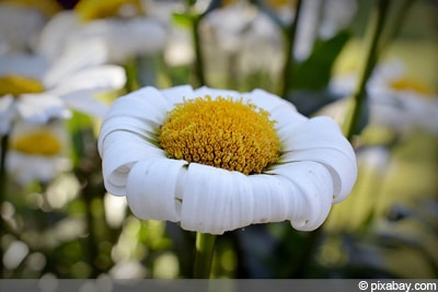 verblühte Blüten