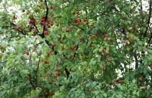 Mirabellenbaum schneiden
