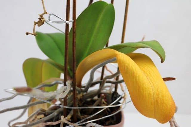 Orchidee Blätter