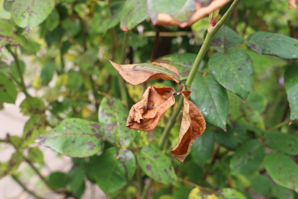Rosenblätter rollen sich ein | Blattrollwespen an Rosen