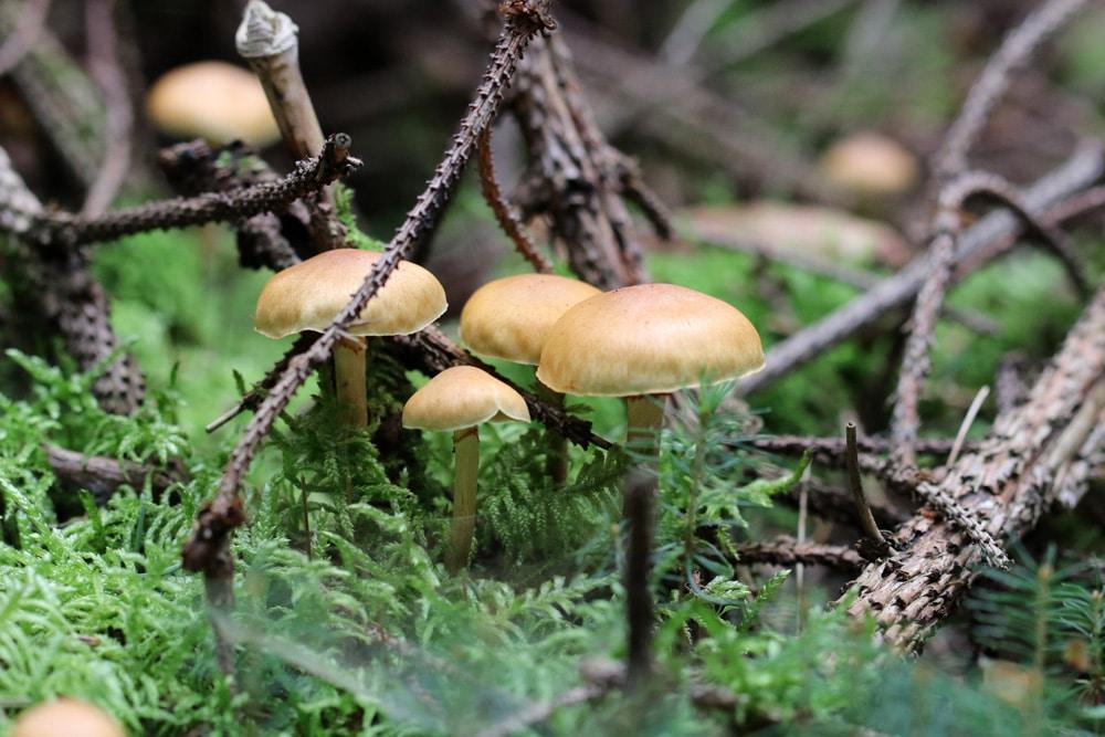 Essbare Pilze Erkennen