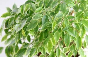 Birkenfeige Ficus Benjamini