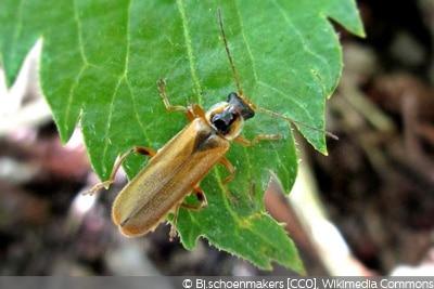 Cantharis decipiens gelbe Käfer