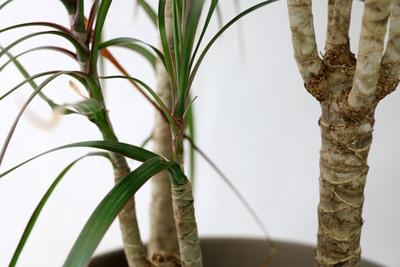 Drachenbaum kürzen